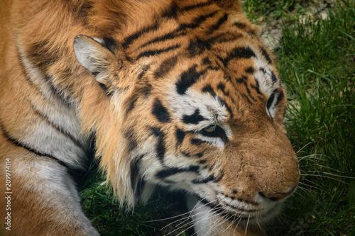 Fototapeta Face of a tiger close up
