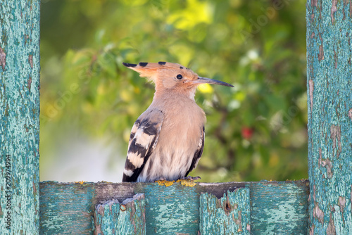 Hoopoe (Upupa epops) sitting on an old wooden green fence