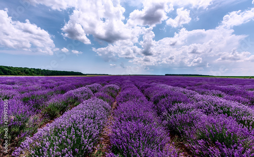 Lavender field. Beautiful lavender blooming scented flowers with dramatic sky. © Kalina Georgieva
