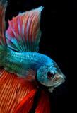 Fighting fish, Halfmoon betta fish, siamese fighting fish, Capture moving of fish - 209976711