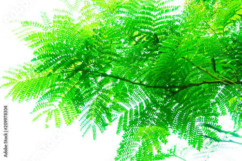 Tree branches and leaves are green on a white background. - 209978304