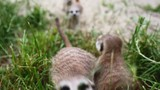 Cute meerkat family enjoing the afternoon. One gets curious about the camera and starts to explore. - 209978930