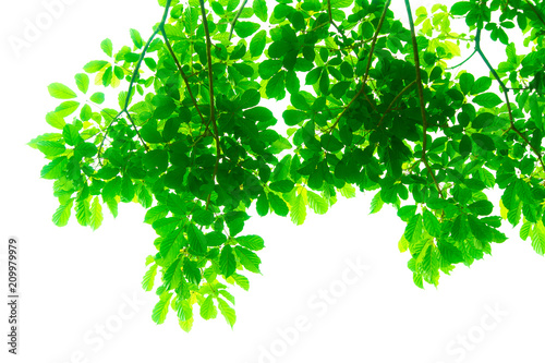 Tree branches and leaves are green on a white background. - 209979979