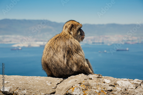Fotobehang Aap Photo of monkey sitting on a wall in Gibraltar, British overseas territory. Photo with shallow depth of field.