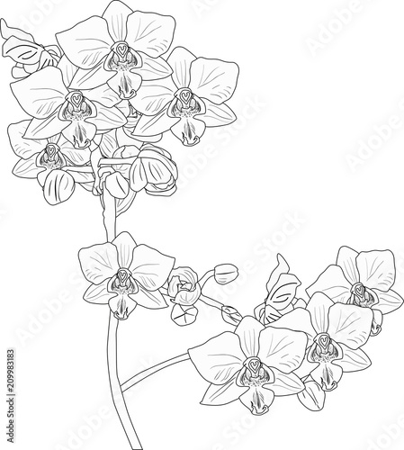 orchid outline with two blossoming branches on white - 209983183