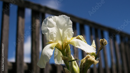 Fotobehang Iris Flowers white irises