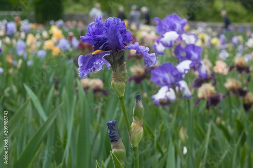 Aluminium Lavendel Iris