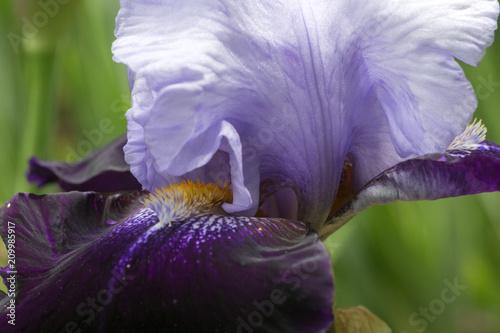 Fotobehang Iris Iris violet