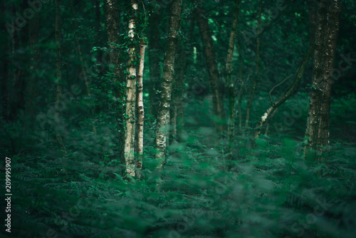 White trunk of birch tree in dense spring forest. - 209995907