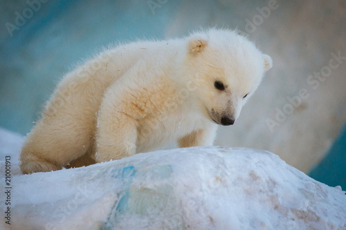 Canvas Ijsbeer Small polar bear cub