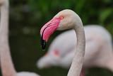 Greater Flamingo headshot