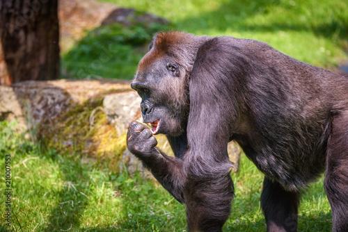 Fotobehang Aap Portrait of a big western lowland gorilla