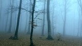 Rotating around trees in foggy forest. Dark moody morning day during autumn