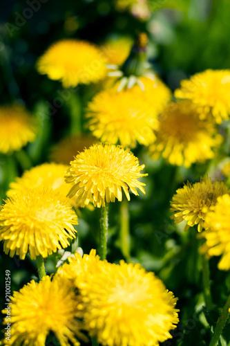 yellow dandelions in a meadow - 210012549