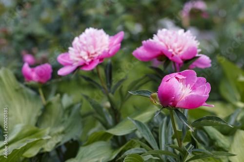 Foto Murales Peony flower bud