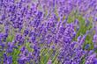 Blühender Lavendel, Lavandula