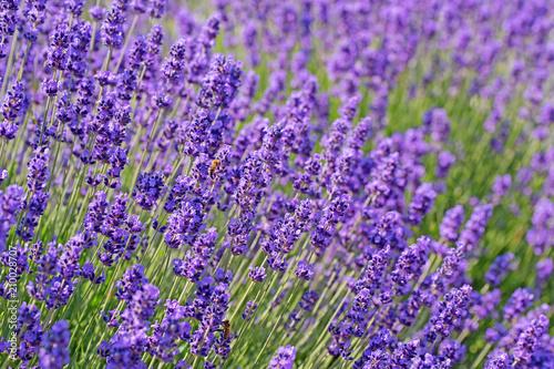 Blühender Lavendel, Lavandula - 210028707