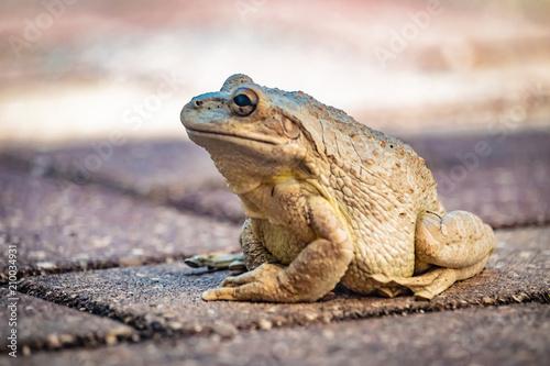 Fotobehang Kikker frog from florida
