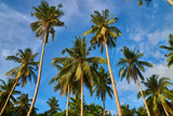 Palm Trees in Elnido Philippines  - 210037172