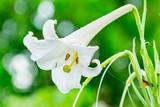 庭に咲いた白いユリの花 - 210039167