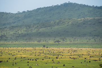 Scenery landscape of Tanzanian savannah with herbivore animals in Serengeti reserve