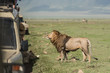 Big lion posing for tourists making photos during safari game drive in NgoroNgoro
