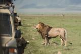 Big lion posing for tourists making photos during safari game drive in NgoroNgoro