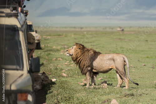 Fotobehang Lion Big lion posing for tourists making photos during safari game drive in NgoroNgoro
