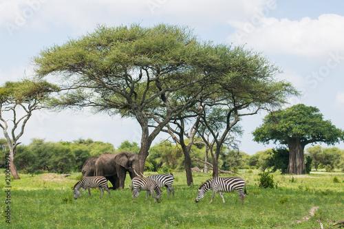 Fotobehang Baobab African animals in Tarangire national park