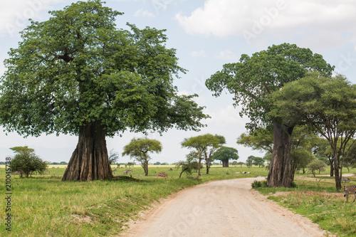 Aluminium Baobab Beautiful road with Baobab trees in Tarangire reserve