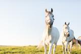 Two white horses trotting ahead on the green grass field. - 210051734