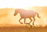 White horse running on the sand in the sunset. - 210051763
