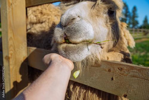 Fototapeta camel. feeding animal. weekend in zoo