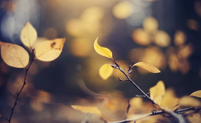 Autumn background with yellow leaves on branches of a cotoneaster