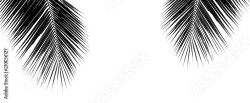 black palm coconut leaf isolated on white background