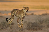 The cheetah (Acinonyx jubatus) is walking in the dry savanna in beautiful light in the evening. Female spotted cat in the desert. - 210056904