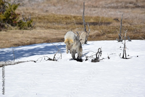 Foto Murales Coyote Pouncing