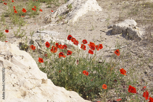 Fototapeta Red poppy flowers grown on the beach