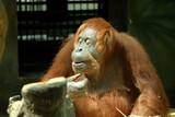 Chimpanzee isolated - 210061103