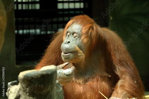 Foto Murales Chimpanzee isolated
