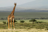 Giraffe with Landscape in the background - 210064599
