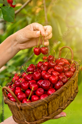 Foto Murales Tasty cherries in a wooden basket holding a female hand in the background a blurred cherry set