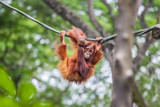 Young Orangutan with funny pose swinging on a rope - 210067503