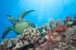 Underwater Green Sea Turtle encounter in crystal clear tropical ocean