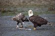 Juvenile eagle and adult bald eagle