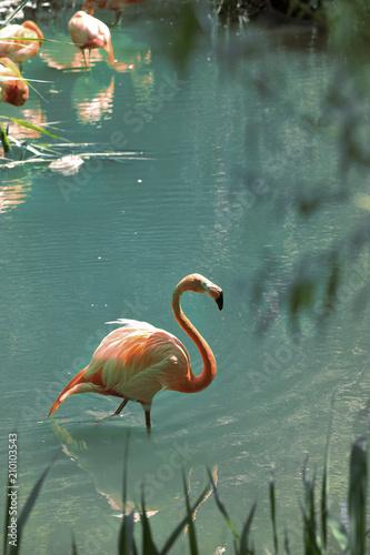 Różowi flaminga odprowadzenie w wodzie