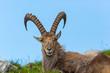front view portrait lying male alpine ibex capricorn