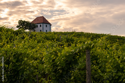 Fotobehang Wijngaard Vineyard with rows of grape vine in sunrise, sunset with old building, villa on top of the vine yard, traditional authentic European winery