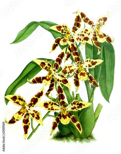 Illustration of orchid - 210111169