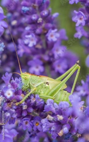 Große Heuschrecke im Lavendel - 210127939